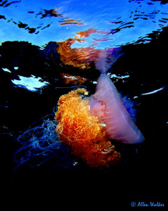 This jelly fish has the most amazing colours and juvenile... by Allen Walker 